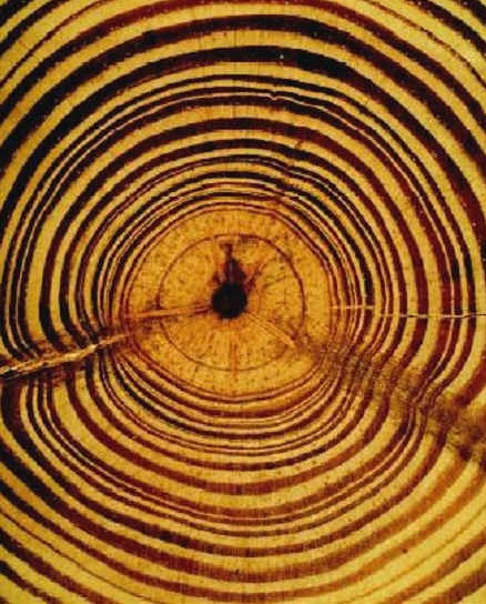 Tree ring dating method in anthropology